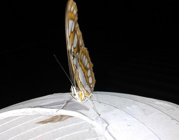 Mariposa 6